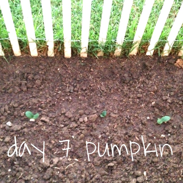 pumpkin day 7
