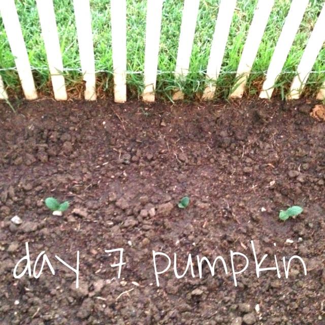 pumpkin day 7